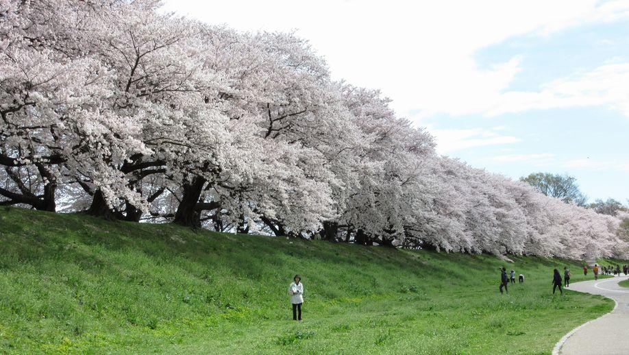 桜の名所背割桜