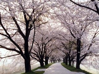 背割堤の桜 全国3位になったボリューム