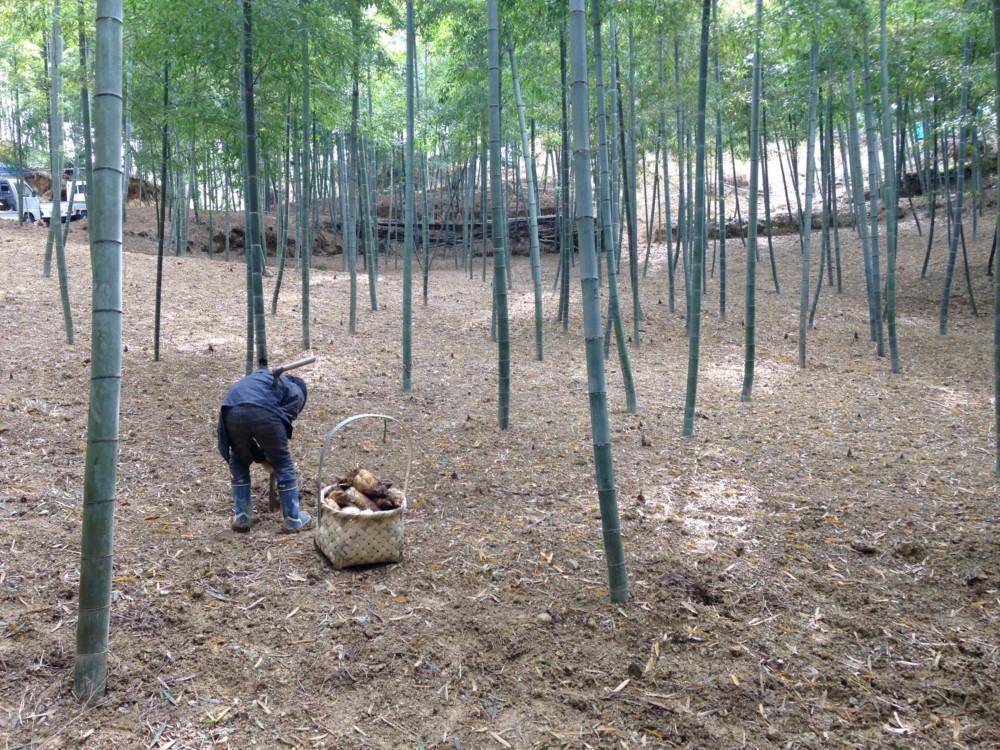 京都辻農園 白子筍